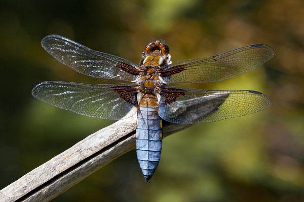 Plattbauchlibelle (Libellula depressa)