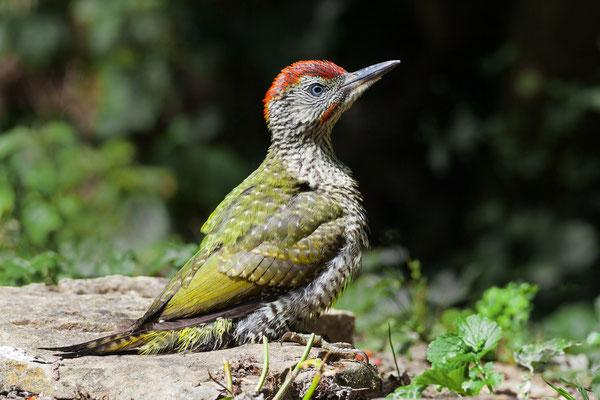 Jungvogel, gesprenkelter Bauch und Brust, grösserer roter Scheitel