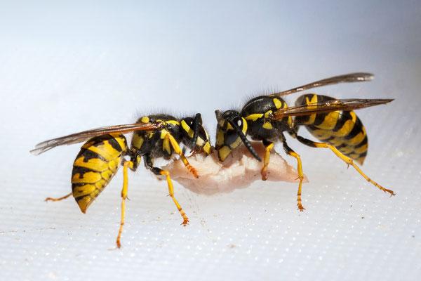 Deutsche Wespen (Vespa  germanica) beim Zerteilen eines Wurstschnipsels.