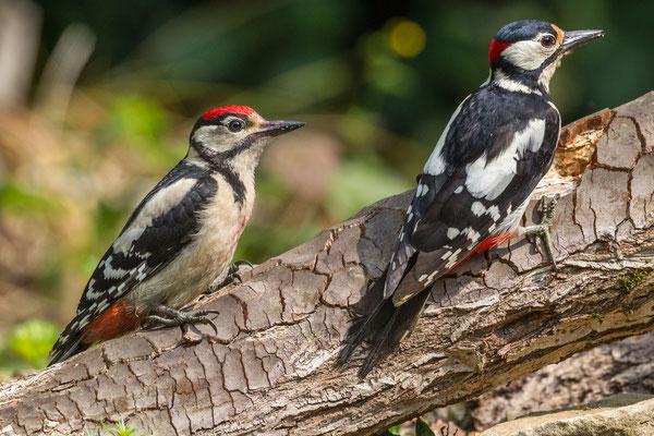 Links ein Jungspecht, rechts ein Altvogel, «Vater Specht»