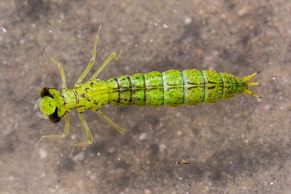 Libellenlarve; vor dem Kopf ist die fast transparente, eingeklappte Fangmaske sichtbar; vermutlich Blaugrüne Mosaikjungfer ( Aeshna cyanea )