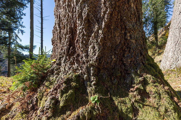 Am Stammfuss einer Douglasie gedeiht die nächste Baumgeneration.