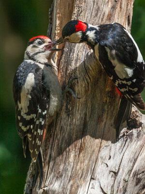 Jungvogel wird vom Vater gefüttert