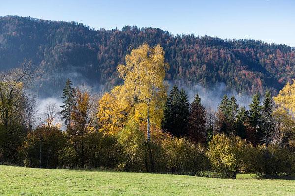 Birke im Herbstlaub vor dem dunklen Tösswald.