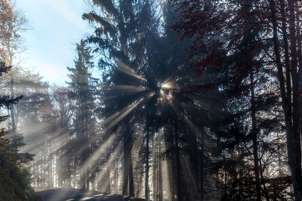 Sonnenstrahlen durchdringen Fichten am Strassenrand.