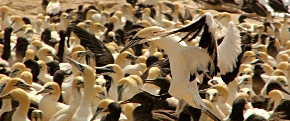 LAMBERTS BAY - BIRDS ISLAND