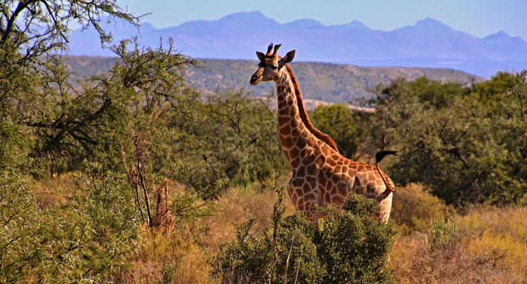 OUDTSHOORN - BUFFELS DRIFT LODGE - SAFARI