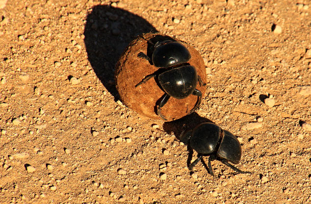 ADDO ELEPHANT PARK - DUNG BEETLE