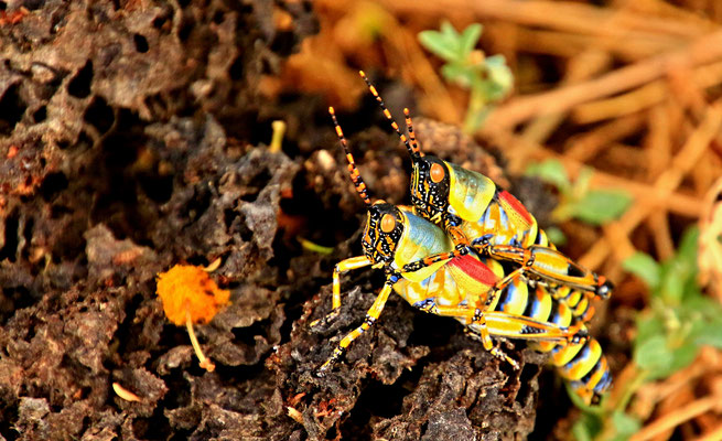 VALLEY OF DESOLATION - COLOURED GRASSHOPPERS