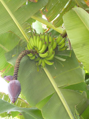 Bananenpalme. Insel Sal. (C) Bubig & Neumann Kreativ-Verlag GbR.