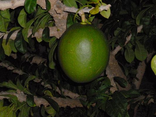 Kalebassenbaum ( Crescentia Cujete L ). (C) Bubig & Neumann Kreativ-Verlag GbR.