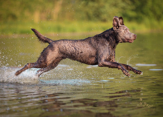 Hundefotografie silberner Labrador Rüde im Wasser