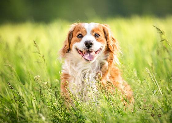 Hundefotografie Mischling auf der Wiese