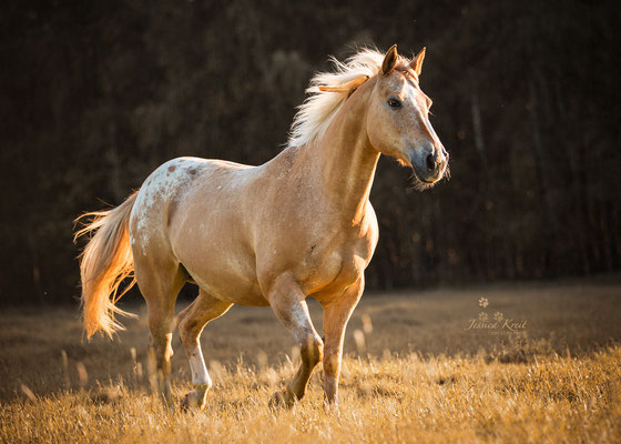Pferdefotografie Appaloosa Quarter Horse Falbe auf der Weide
