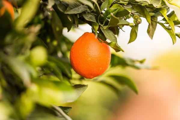 frische Orangen gereift in der Sonne von Malaga