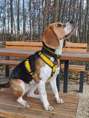 Hundehalsband DAILY (Breite 3cm) - Fettleder in Schwarz, Nappaleder in Gelb, Naht in Gelb, Beschläge in Messing