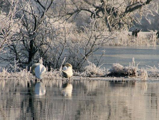 Garz - Schwäne im Winter