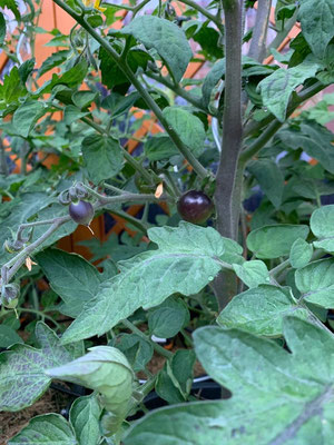 02.07. langsam nehmen die Tomaten Farbe an