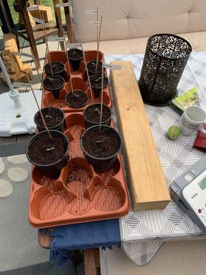 19. April langsam sollte ich ein Plätzchen für die Pflanzen suchen. (alle Samen sind aufgegangen)