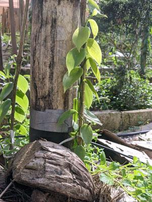 Die Blätter der Vanille Maya sind - wie ihre Schoten - kleiner als die der gängigen Planifolia.