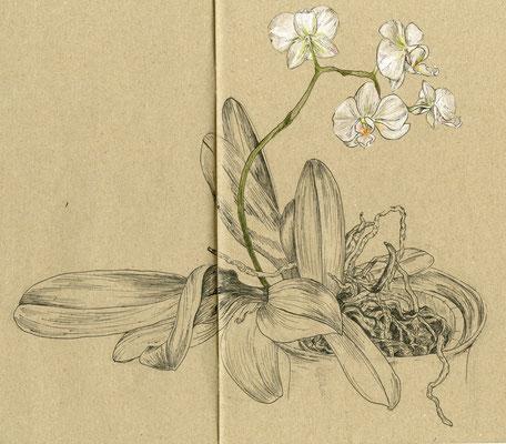 Orchidee, Filzstift und Buntstift auf Papier