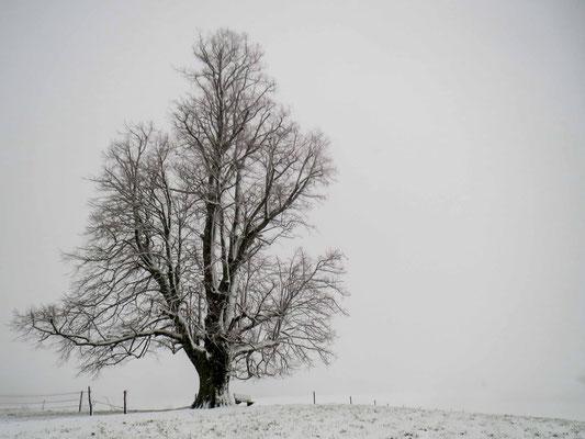 Die alte Linde von Detligen im Winter