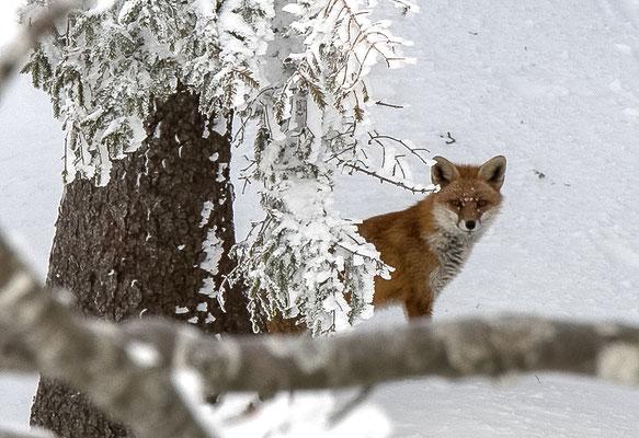 Auf dem Grenchenberg traf ich diesen Fuchs an