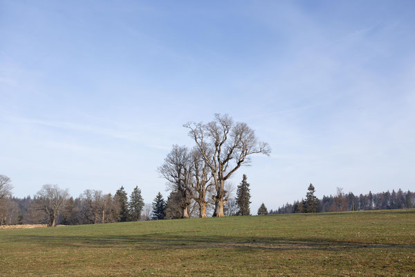 Die altem Baumriesen von Les Pres d Orvin