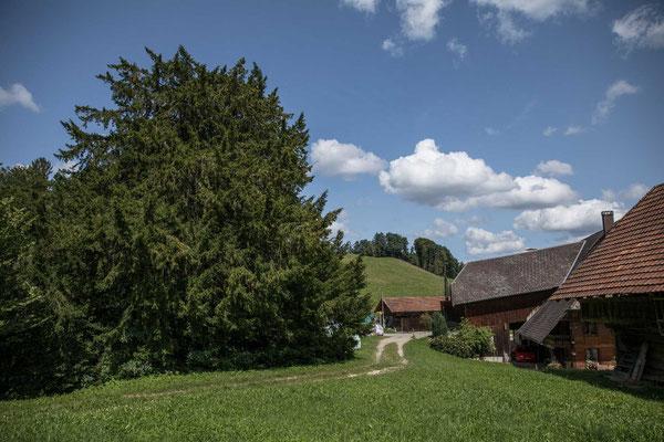 Die Gerstler Eibe von Heimiswil im Emmental
