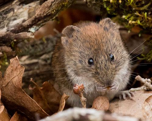 Diese Maus lässt sich nicht stören.