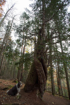 Die Eibe von Crêmines.  Mit über 1500 Jahren ist da der älteste Baum der Schweiz. Es ist etwas spezielles vor diesem Baum zu stehen oder ihn zu berühren. Ja, es ist keine Schönheit. Doch wer ist geht als Greis noch an eine Schönheitskonkurrenz.