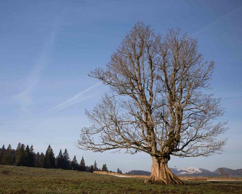 Dieser wunderschöne Bergahorn steht bei der Metarie de Diesse im Naturpark Chasseral. Diese Region ist ein Paradies für alte Bäume