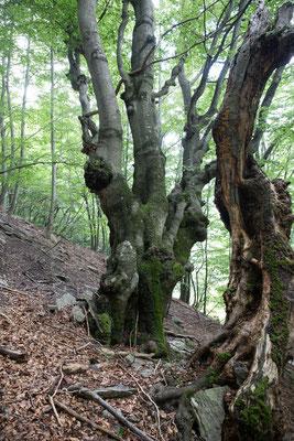 Kastanienwald im Tessin