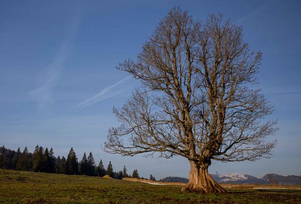 Der alte Bergahornbaum bei der Métairie de Diesse