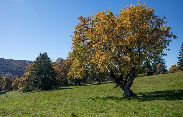 Uralter Mehlbeerbaum in Les Pres-d'Orvin