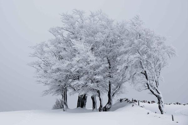 Junge Bergahornbäume bei Le Soliat auf dem Creux du Van im Neuenburger Jura
