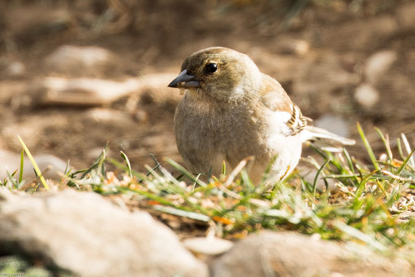 Leider sah ich die Steinböcke vom Creux du Van nicht. Dies kleine Vogeldame posierte jedoch speziell für mich.