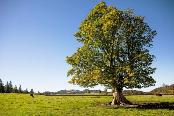 Der alte Bergahornbaum in Les Pres-d' Orvin