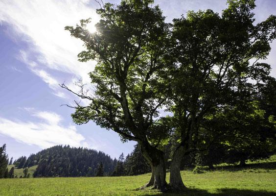 Der zweigeteile Baum von Les Pres d Orvin