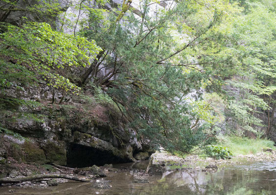 Eibe am Ufer der Schüss in der Bieler Taubenlochschlucht