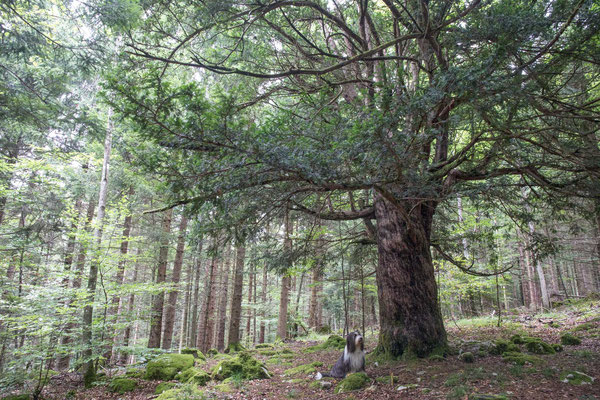 Diese Eibe auf dem Bözingenberg ist zwischen 500 - 1000 Jahre alt