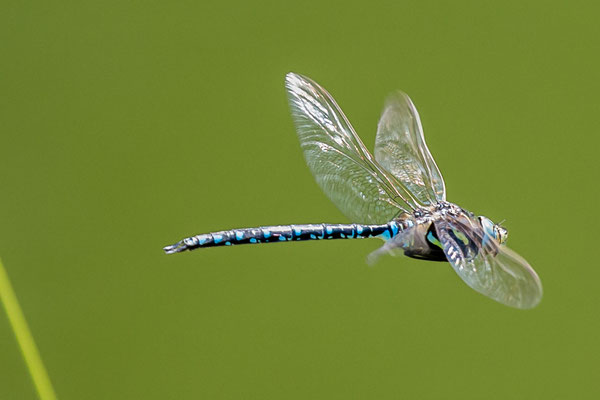 Die Alpenmosaik Jungfer ist eine der seltensten Libellen in der Schweiz und vom Aussterben bedroht. Ich sah sie beim Halsesee im Walliser Binntal