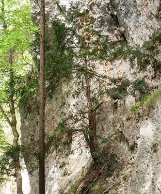 Diese Eibe hat sich in der Schlucht einen Felsvorsprung ausgesucht