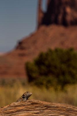 Es braucht schon Glück für solche Bilder. Eidechse im Monument Valley Arizona