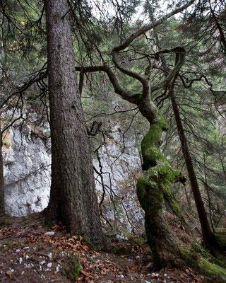 Die einzige in der Schweiz bekannte Rankbuche steht in der Combe Grede, einer Schlucht nördlich vom Chasseral im Berner Jura