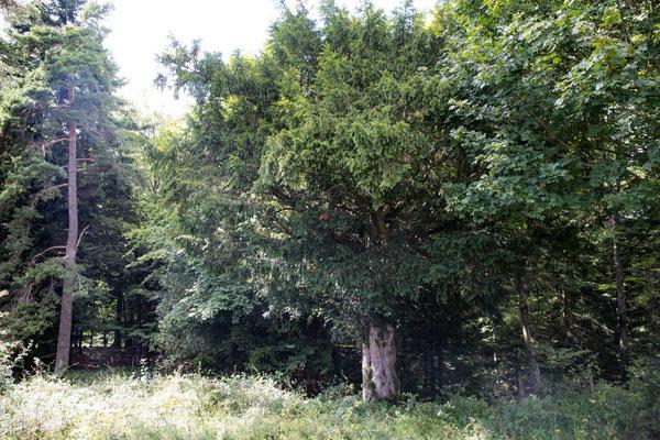 Diese Eibe steht am Waldrand in unmittelbarer Nähe von der alten Eibe auf dem Bözingenberg