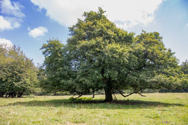 Der wilde Birnenbaum in der Nähe von Romont
