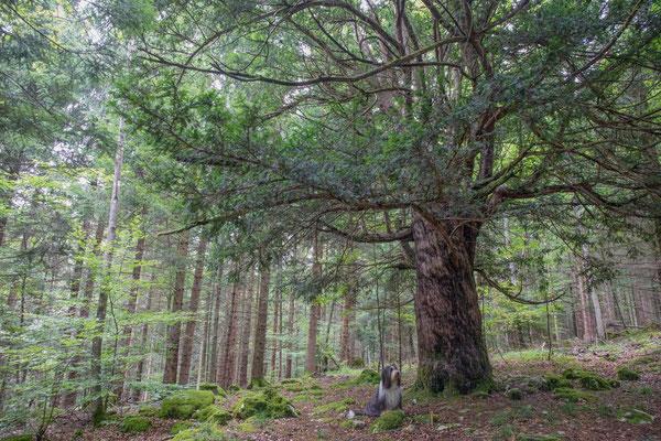 Die 800Jährige Eibe auf dem Bözingenberg ist gut  versteckt