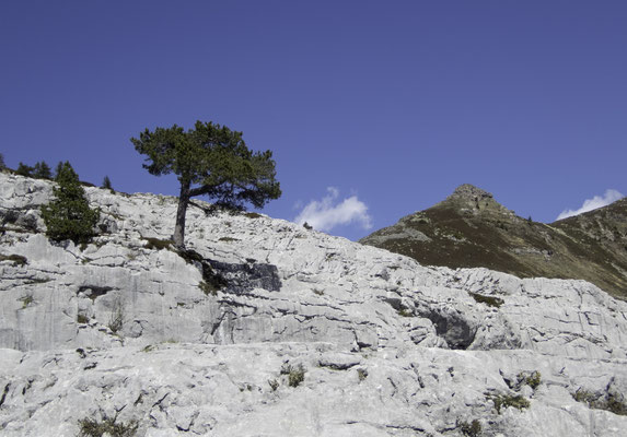 Der magische Baum in den Schratten beim Innerbärgli
