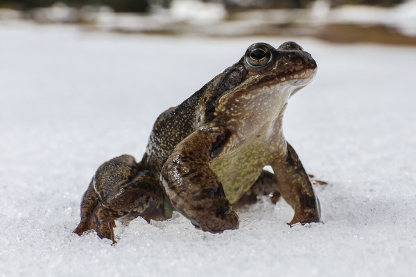 Erdkröte im Mürtschental auf Wanderschaft